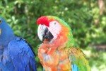 Papageien auf dem Weg nach Hana © Aloha