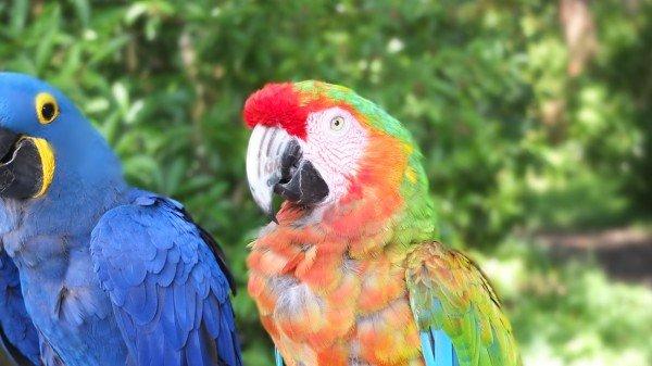 Papageien auf dem Weg nach Hana