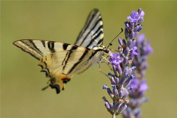 Flattermann auf Lavendel