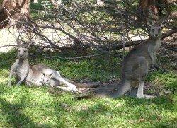 Kängurus in Australien