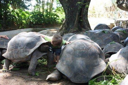 Jung und Alt treffen sich auf La Curieuse (das Foto entstand allerdings im Botanischen Garten auf Mahé)