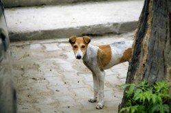 Hauptüberträger von Tollwut ist der Straßenhund