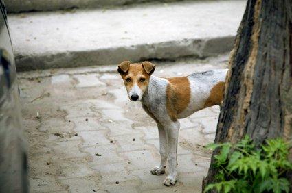 Hauptüberträger von Tollwut ist der Straßenhund © Schiddrigkeit - fotolia.de