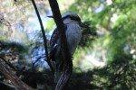 Kookaburra in Coffs Harbour © missbubi