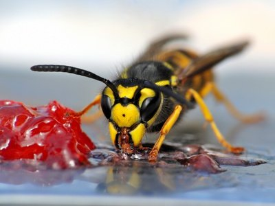 Die Wespe hat einen schlechten Ruf bei Eltern - zu Recht? © Pixelnest - Fotolia.com