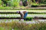 Reisfelder © bienchenmama