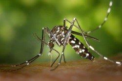 """Die asiatische Aedes-Mücke - auch bekannt als """"Tiger Moskito"""""""