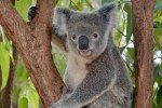 Koala im Billabong Sanctuary © Anonym