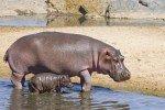 Dieses Nilpferdkind fühlt sich im Serengeti-Park geborgen bei seiner Mama © Fairaway