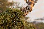 Guten Morgen! Lassen Sie sich von Giraffen zum Frühstück begrüßen © Fairaway