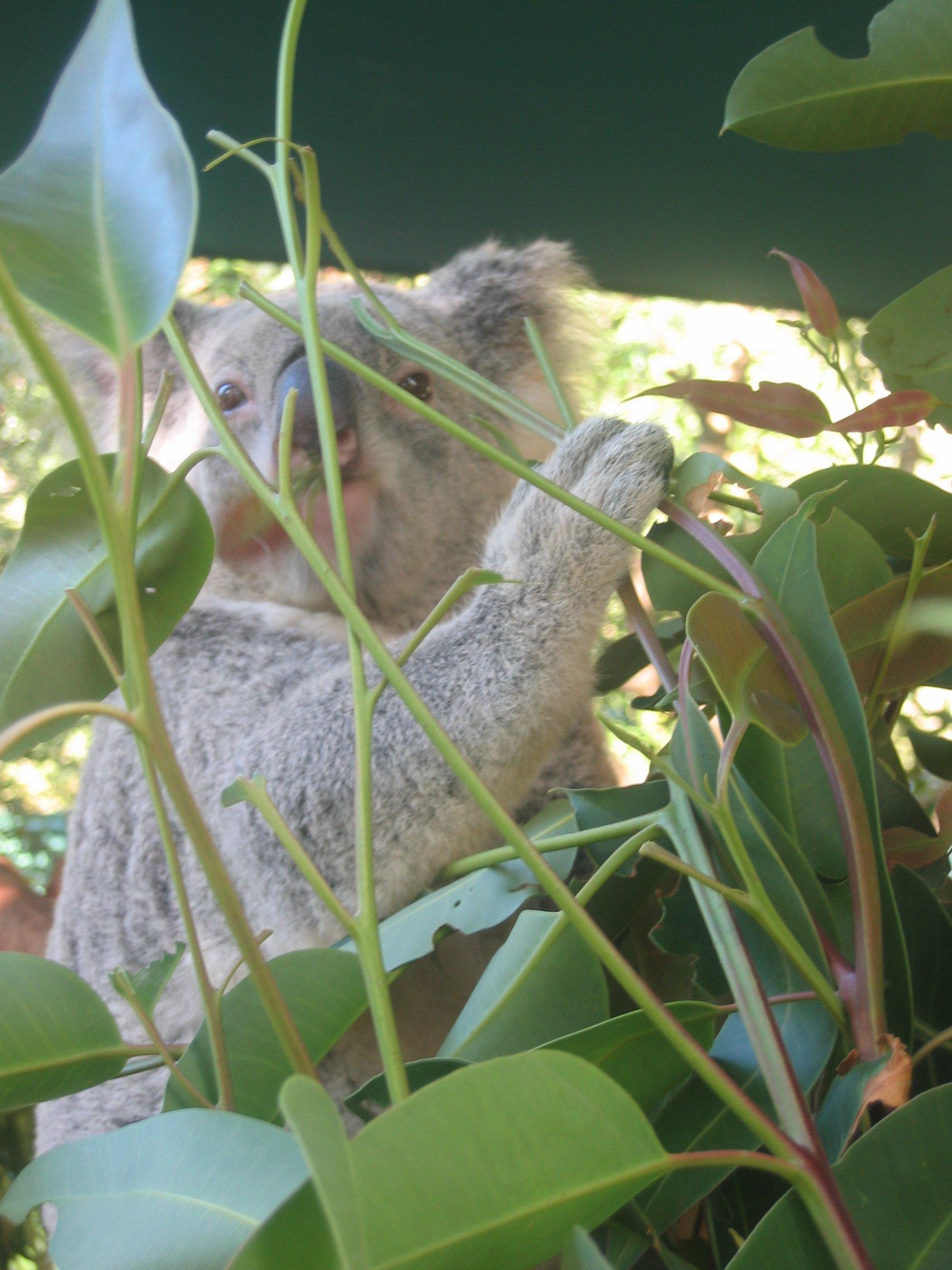 Koalabär in Australien © KidsAway