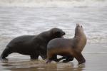 Seelöwen am Strand vorm Campingplatz in Neuseeland © Elternzeitreise