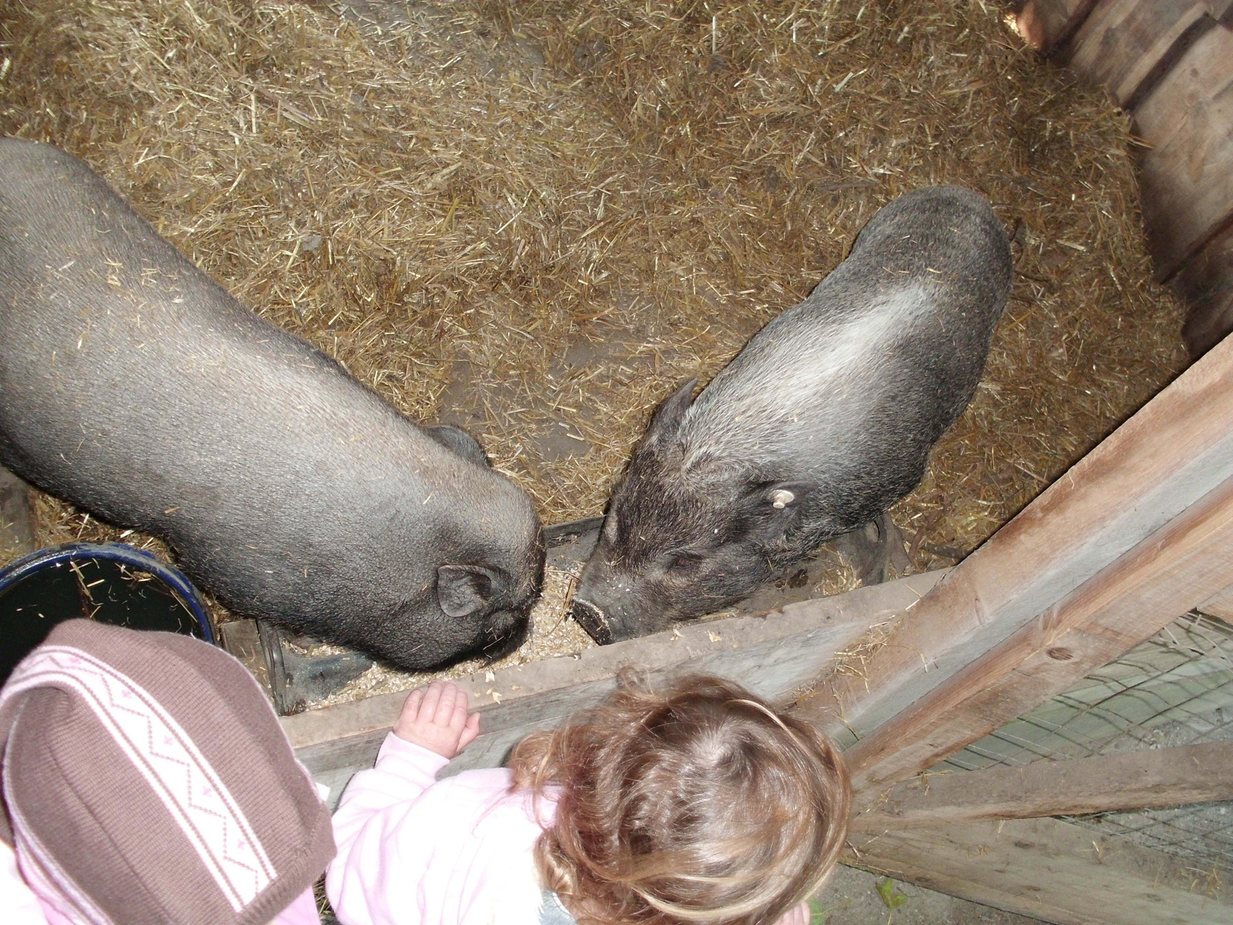 Die Schweine Fred und Frieda © kruemel86