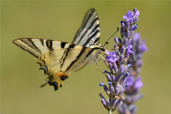 Flattermann auf Lavendel © kh143