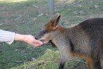 Känguru füttern im Billabong Wildlife Park © missbubi