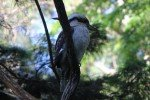 Kookaburra in Coffs Harbour © missbubi