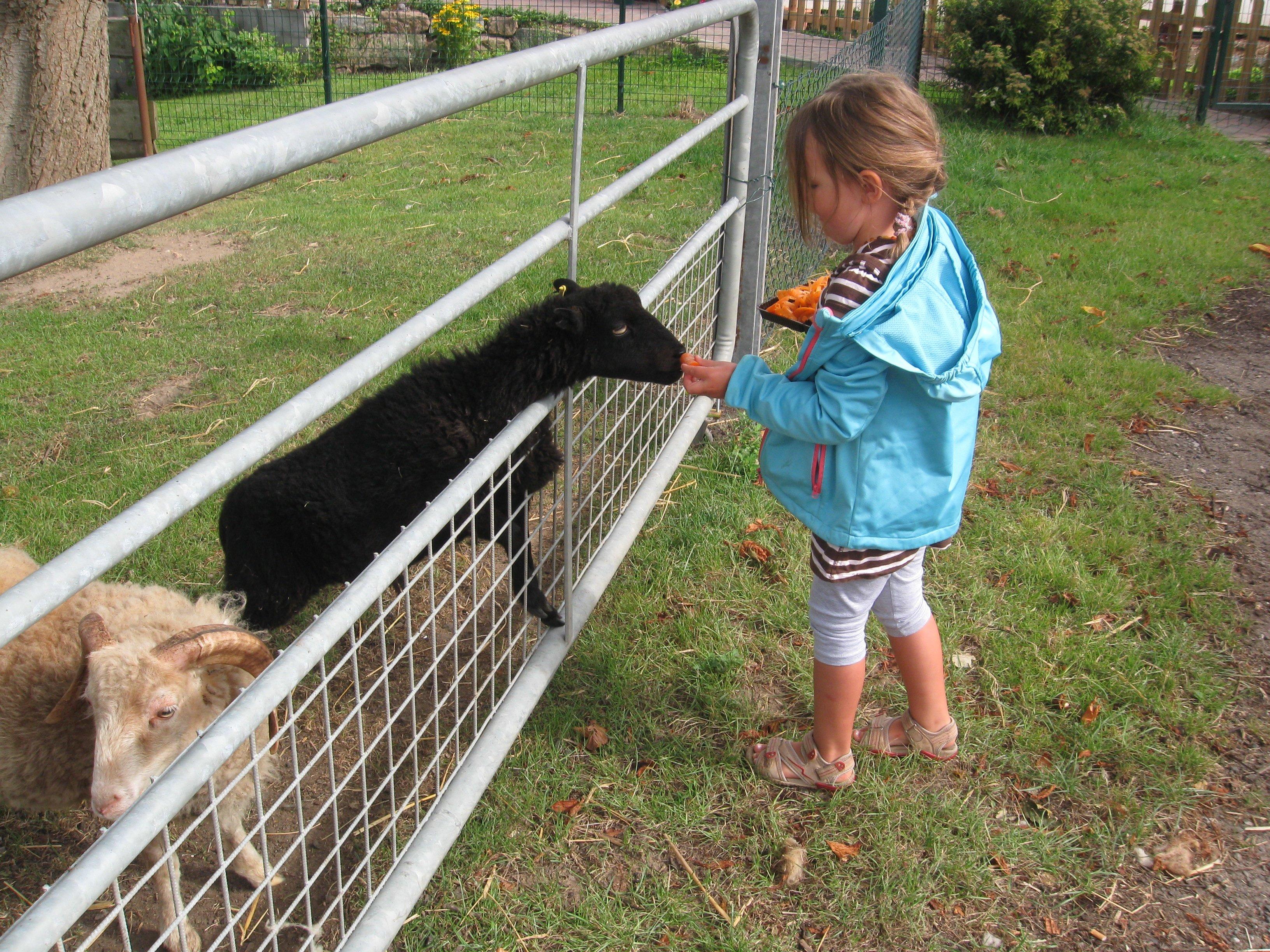 mal ganz vorsichtig die Schafe füttern © Herby
