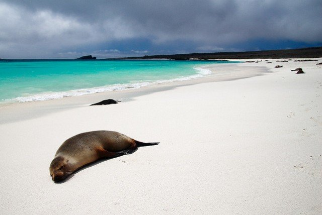 Seelöwen an der Gardner Bay auf Espanola, einer der Galapagos-Inseln © Flickr/Mark Rowland
