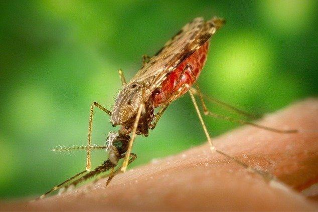 Moskitos übertragen eine Menge gefährlicher Viren © Pixabay