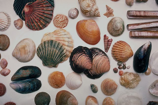 Aus mitgebrachten Muscheln kann man so vieles basteln! © Wikimedia Commons