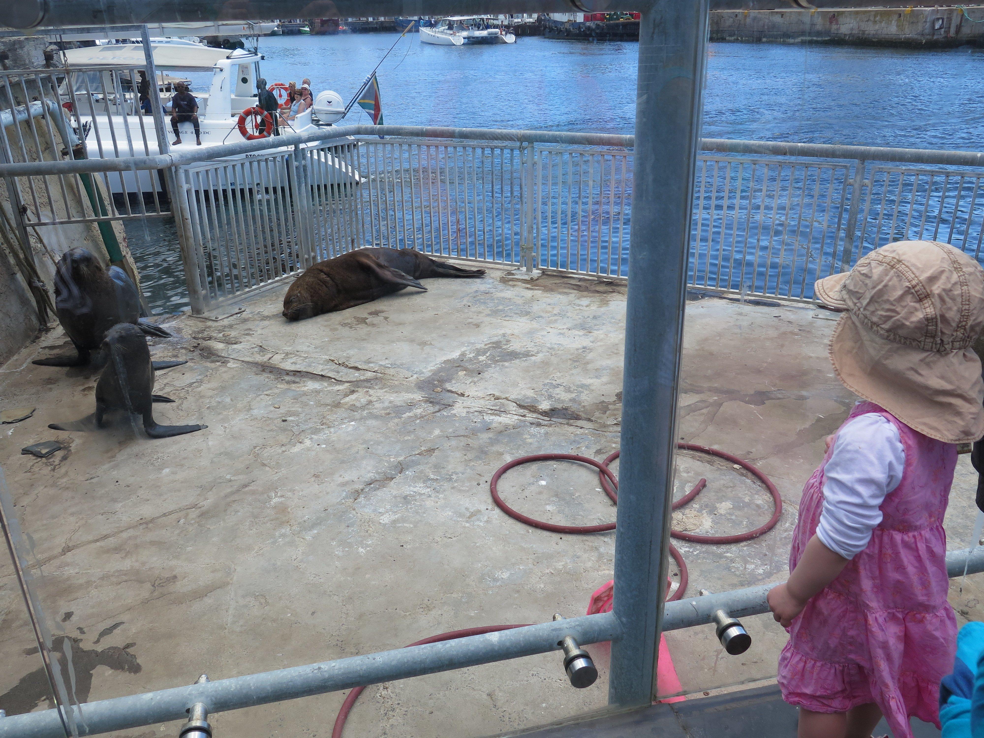 Seelöwen am Hafen in Kapstadt © Baummaedchen